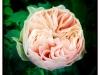 les-roses-pierre-belet-3-jpg