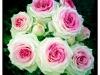 les-roses-pierre-belet-4-jpg