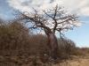baobab-madagascar-jpg